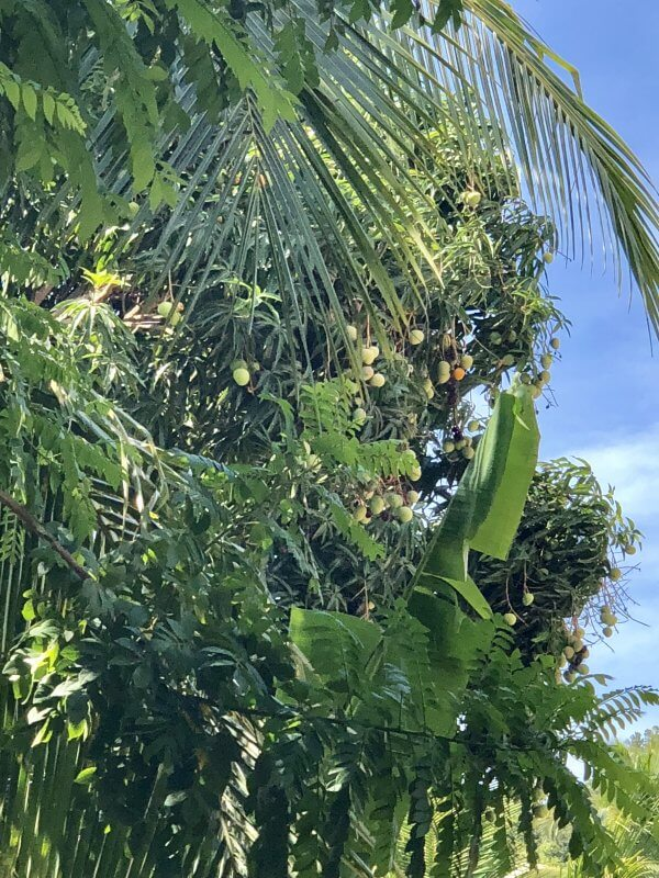 Mango Tree with ripe mangoes